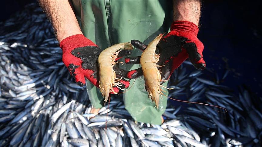 Hatay'da ağlara takılan jumbo karides balıkçıların yüzünü güldürüyor