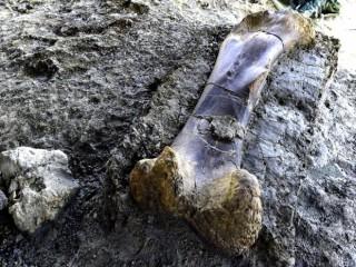 500 kiloluk dinozor kemiği şoke etti