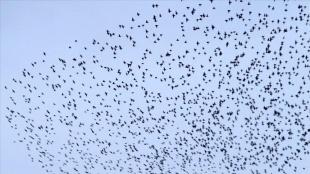 Bingöl'de sığırcıkların gökyüzündeki dansı güzel görüntüler oluşturdu