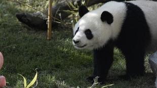 Çin dev pandaların 'tehlike altındaki tür' sınıflandırmasından çıkarıldığını bildirdi