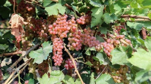 Iğdır'ın yarım asırlık bağlarında üzüm bereketi