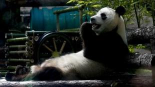 Japonya'da panda ikiz doğurdu