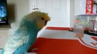 Muhabbet kuşu 'Bulut'un Sivasspor tezahüratları ilgi çekiyor