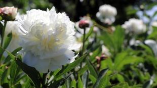 Özel günlerin çiçeği 'şakayık' Yalova'dan yurdun dört bir yanına gönderiliyor