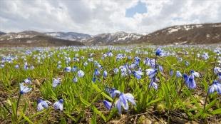Tunceli'de baharın gelişiyle açan mavi kardelenler doğayı süsledi